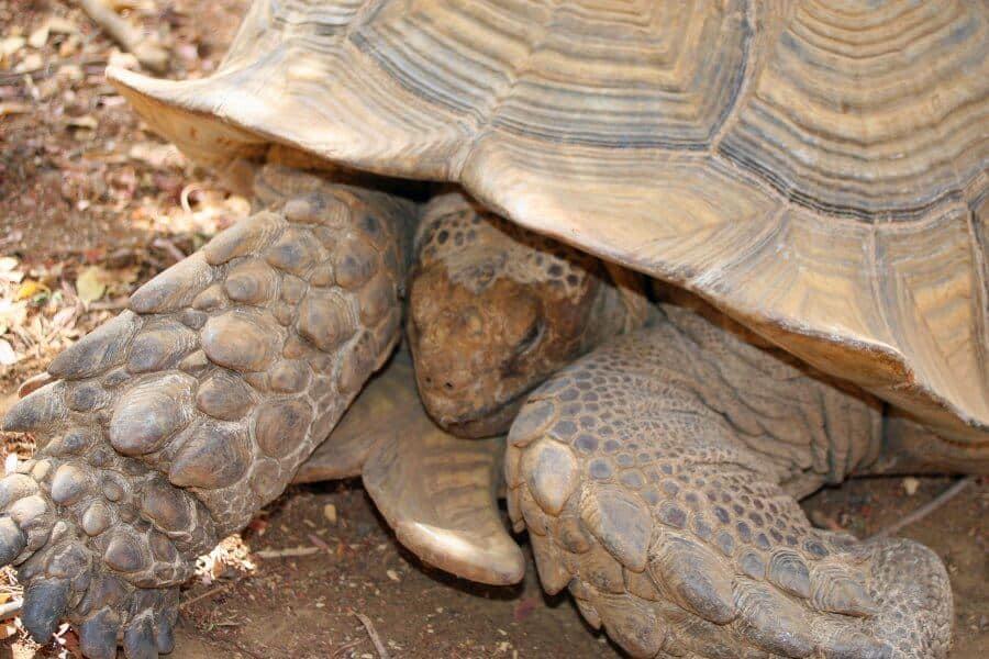Giant tortoise, Bandia Wildlife Reserve, Senegal