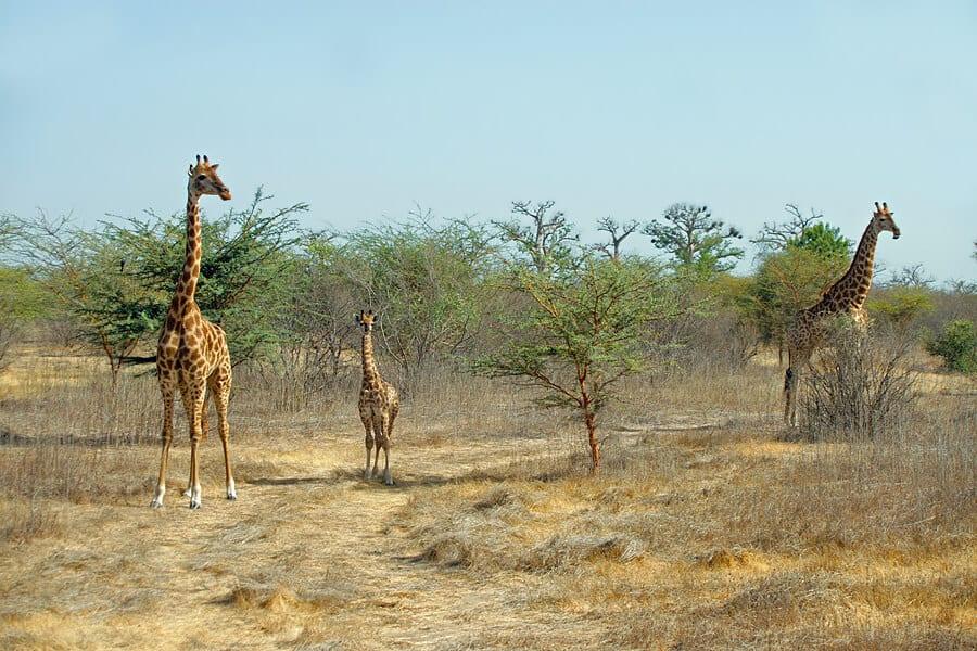 Giraffes in Bandia Wildlife Reserve, Senegal