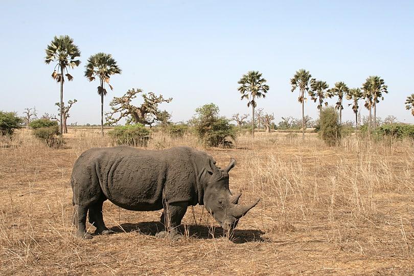 Rhino in Bandia Nature Reserve