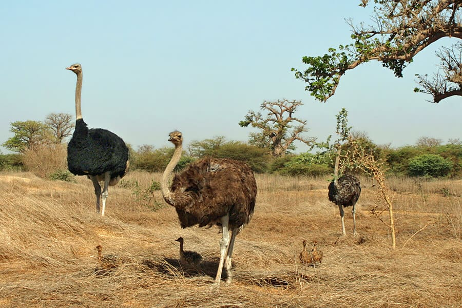 Ostrich family, Louise and an giant tortoise, Bandia Wildlife Reserve, Senegal