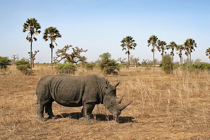 Rhino, Bandia Nature Wildlife, Senegal