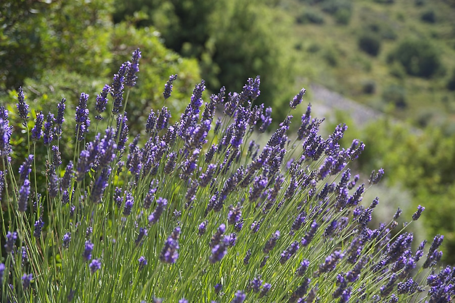 Lavender growing by the roadside, Corsica