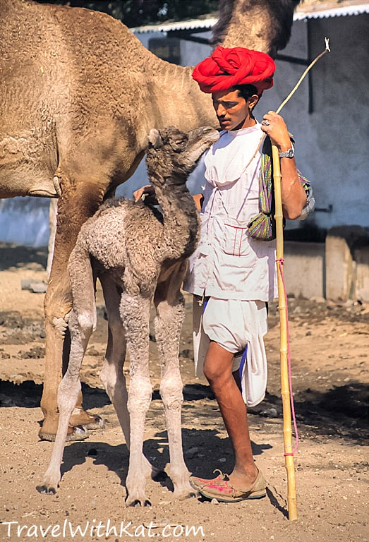 Camel herder and baby camel, Rajasthan, India