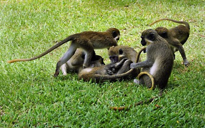 Monkeys at play in a Gambian garden