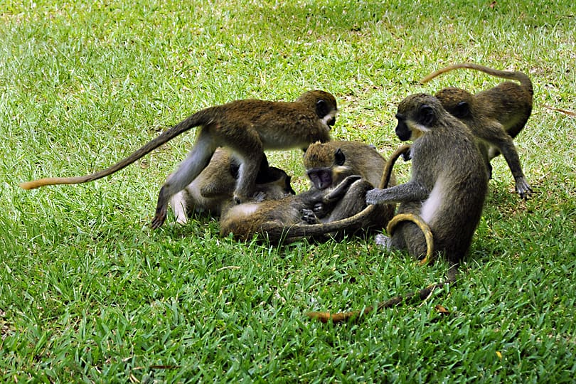 wildlife, green vervet monkeys playing in the Gambia