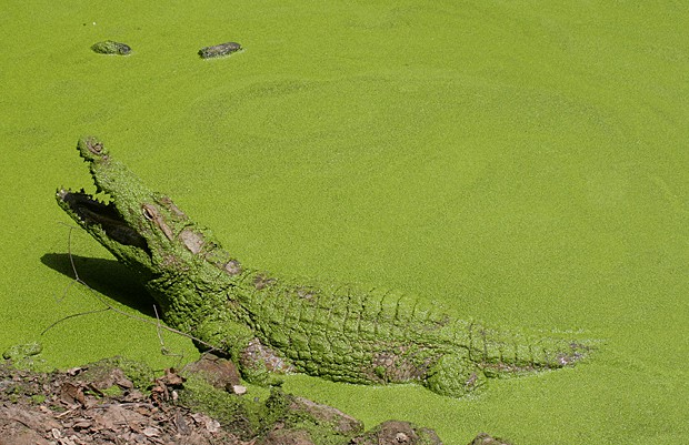 Capture the Colour 2013, green algae covered crocodile