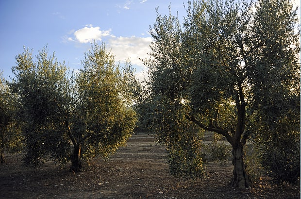 Mallorcan olive trees