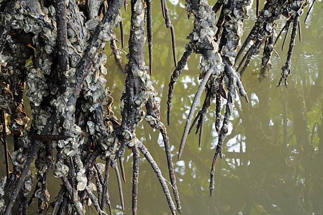 Gambian oysters clinging to mangrove roots