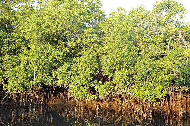 Mangroves, The Gambia