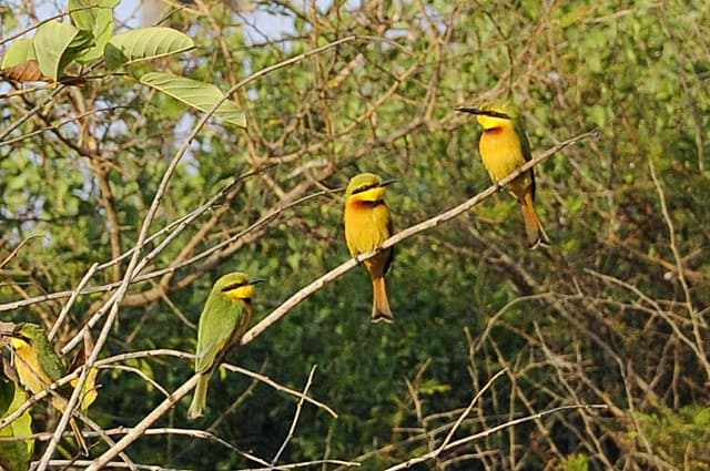 Little bee-eaters, bird watching in The Gambia