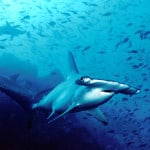 Shark fin soup – the modern consequences of an ancient tradition
