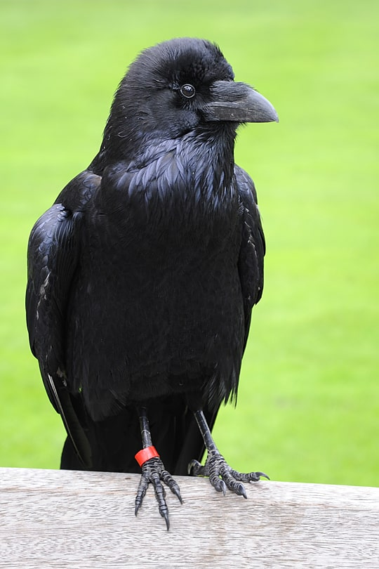 Hugine, Tower of London Raven, Tower of London Tours