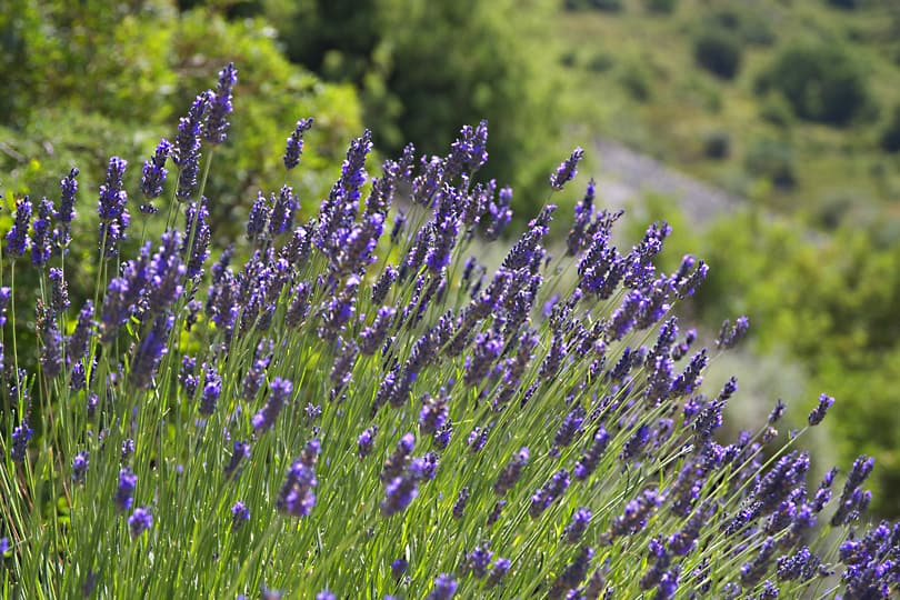 Pigna lavender810