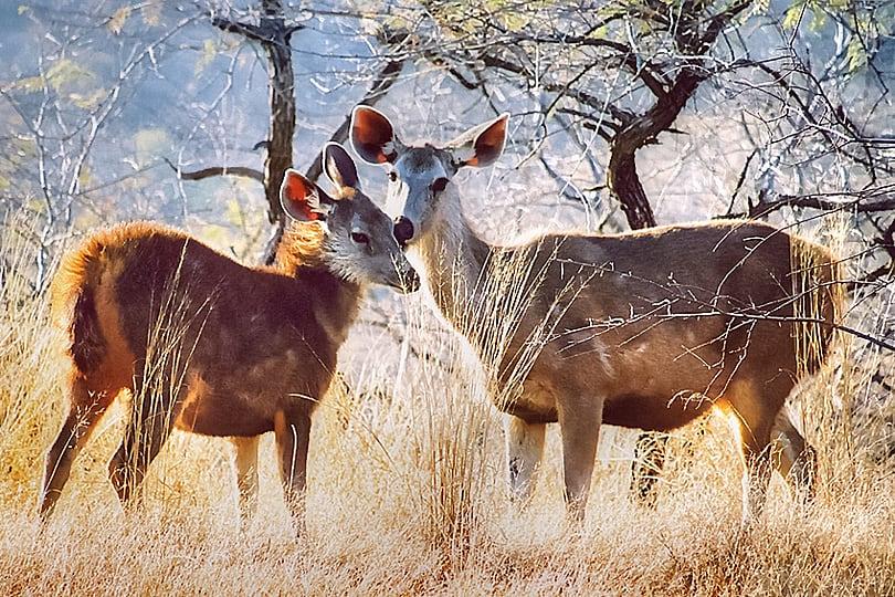 Deer India_tonemapped