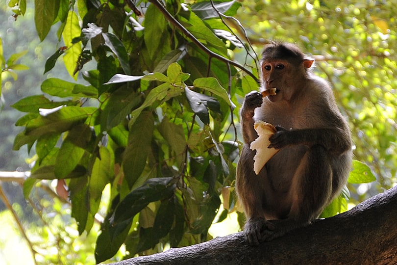 Sorry to see the monkeys being feed by tourists at Mollem National Park, Goa. Follow the link to find out why.
