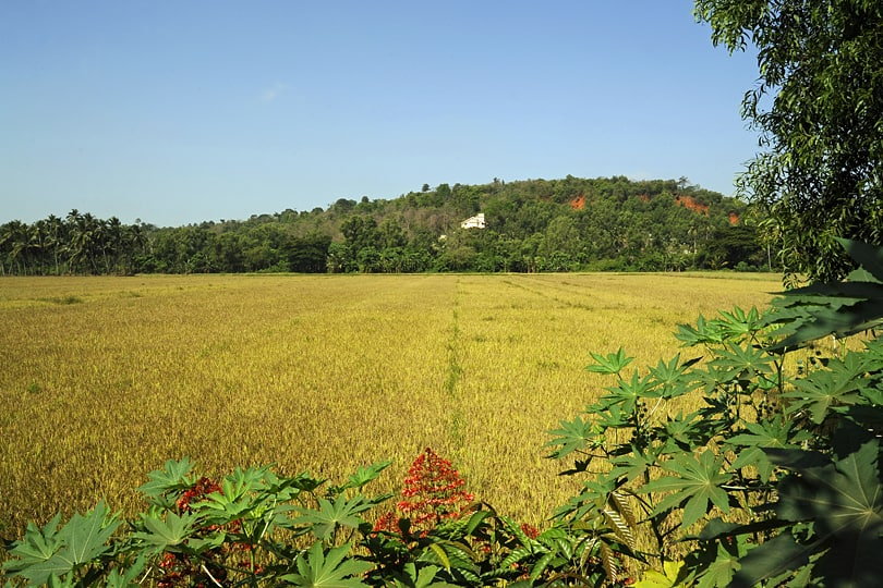 Rice fields in Southern Goa, India