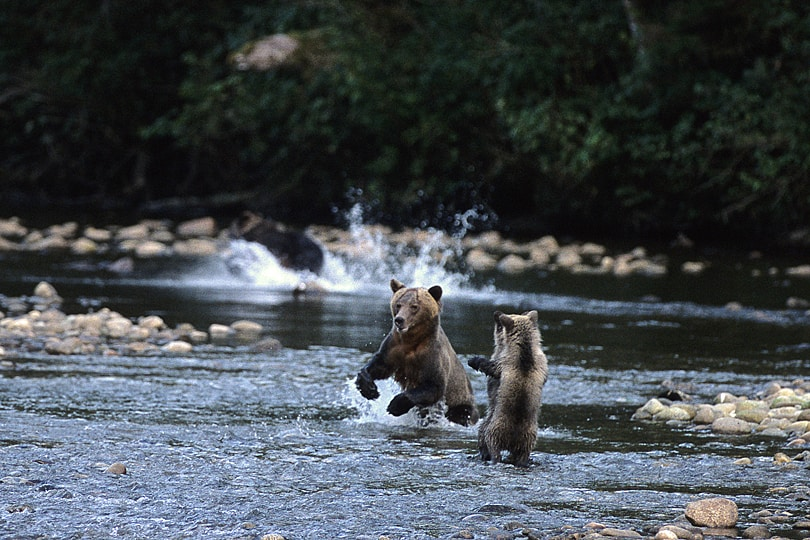 Grizzly bears in the Great Bear Rinaforest, British Columbia, Canada