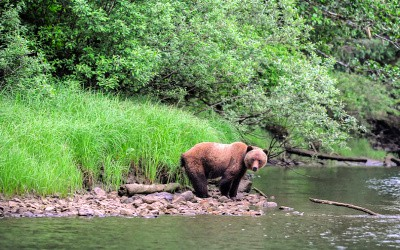 The Grizzly Bears of Canada's Great Bear Rainforest