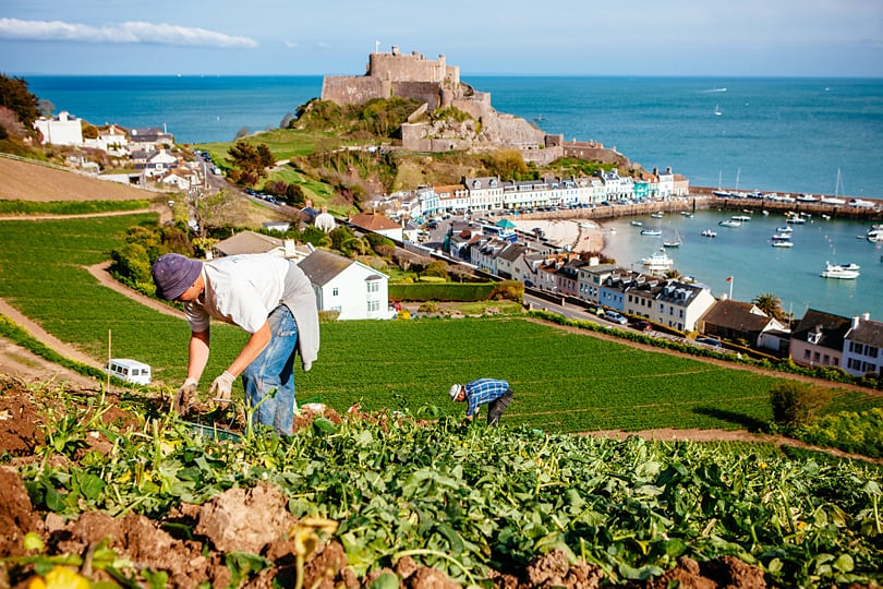 Jersey Royal New Potatoes. Potatoes planted on the early slopes are hand lifted, with mechanical harvesters used only for the later, flatter fields. The fields on slopes near the coast - known as côtils - are so steep that almost all the work is done by hand.