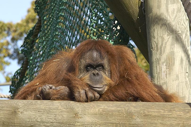 umatran orangutan, Durrell Wildlife Conservation Trust