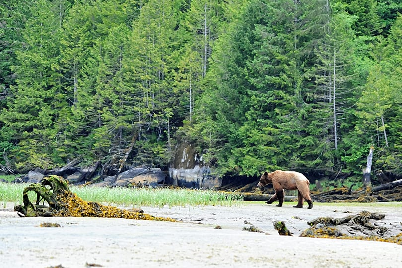 Tips on photographing bearsin the Great Bear Rainforest