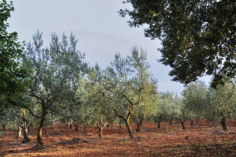 Olive groves near Locorotondo, Puglia, Italy