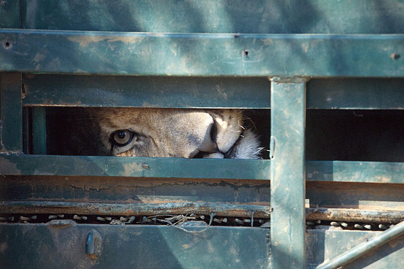 Blood Lions, Ground breaking film lifting the lid on canned (captive) hunting of lions