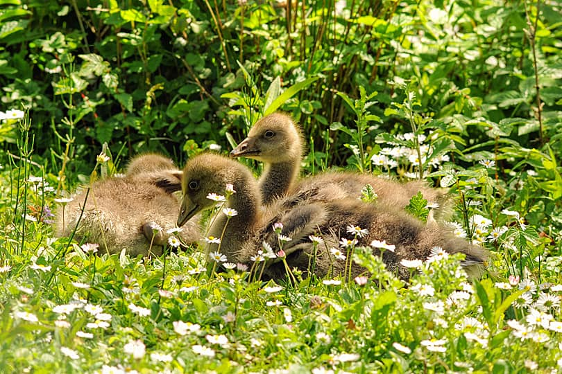 Geese young at the Arundel Wetland Centre, West Sussex, England - Wildlife Photography