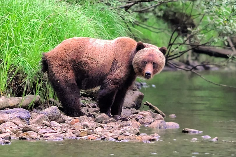 Female Grizzly Bear in the Great Bear Rainforest, British Columbia, Canada