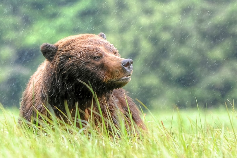 Male Grizzly Bear in the Great Bear Rainforest, British Columbia, Canada