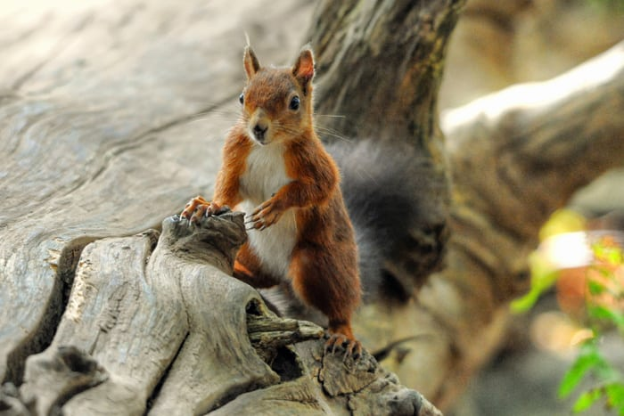 Red squirrel on Brownsea Island, Poole, Dorset, England