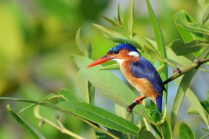 Malachite Kingfisher by Kotu Stream, The Gambia - Wildlife Photographs