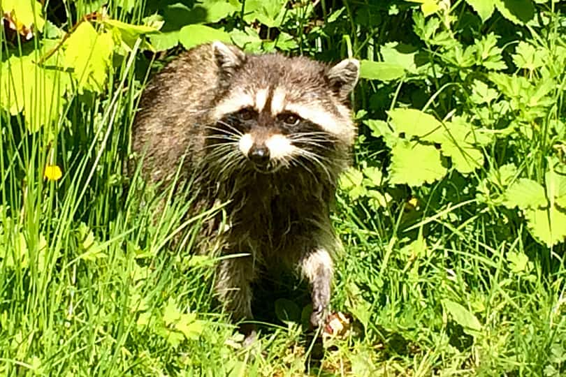 Racoon in Stanley Park, Vancouver