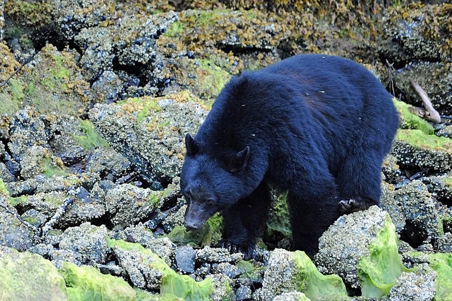 Black Bear near Tofino, Vancouver Island, BC, Canada