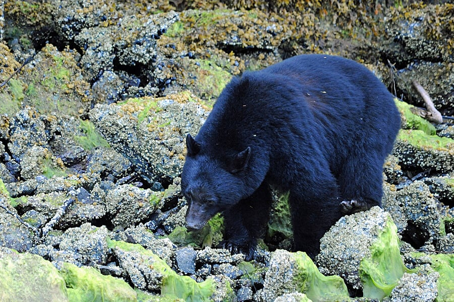 Black bear watching in Clayoquot Sound, Vancouver Island, British Columbia, Canada