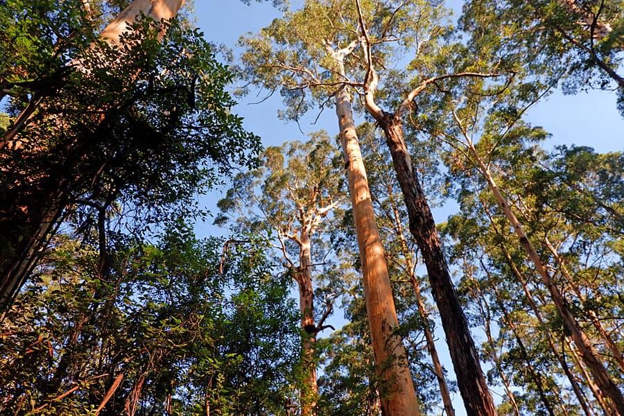 Karri Forests, Western Australia