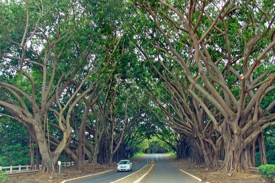 Kauai's Banyan Tree Tunnel, Hawaii, USA