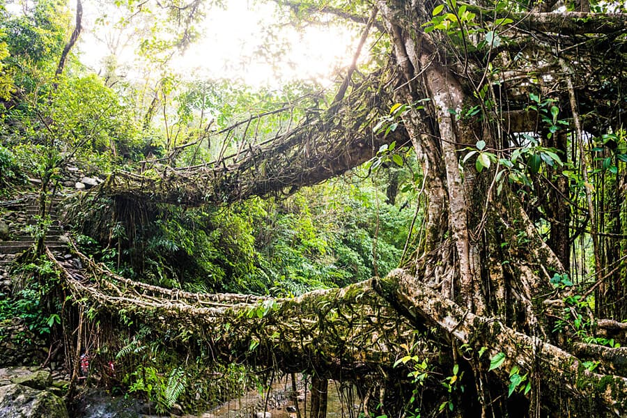 Living Root Bridge, Meghalaya, India