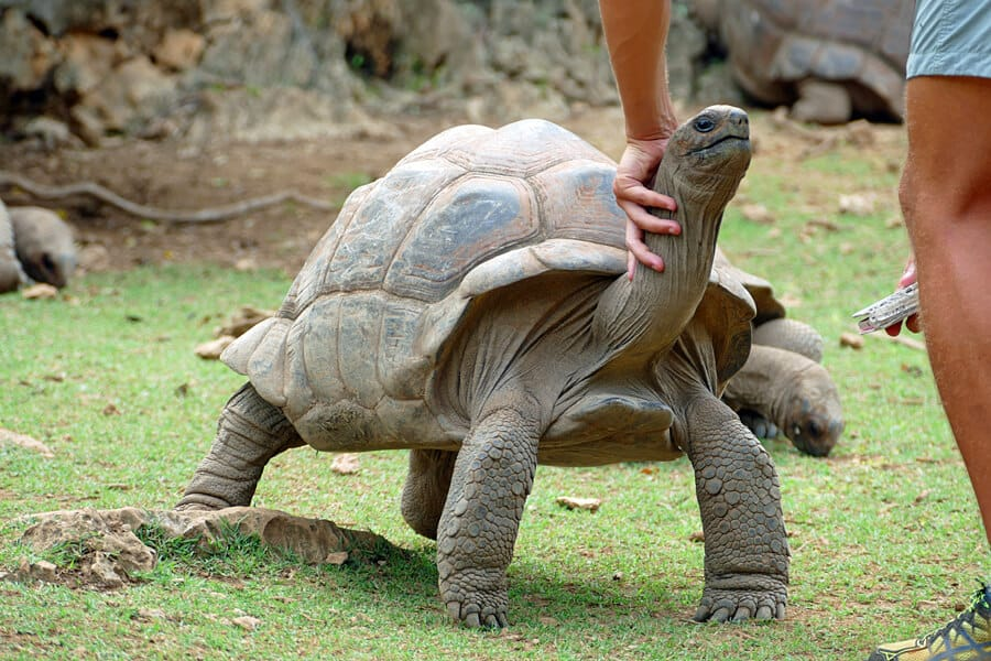 Off the beaten track things to do in Mauritius - Pet giant tortoise on Rodrigues Island in the Indian Ocean