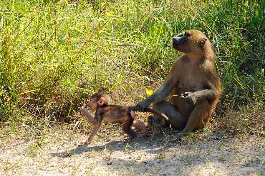Baboons in Makasutu Forest, The Gambia