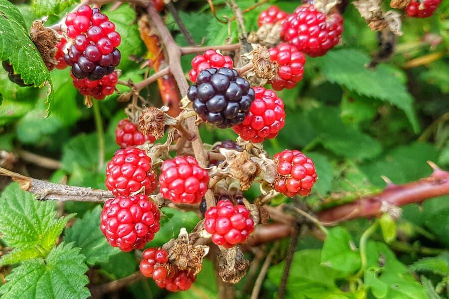 Healthy breakfast smoothie | Wild blackberry smoothie recipe