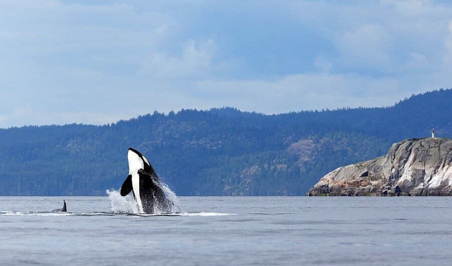 Orcas off Vancouver Island, British Columbia, Canada