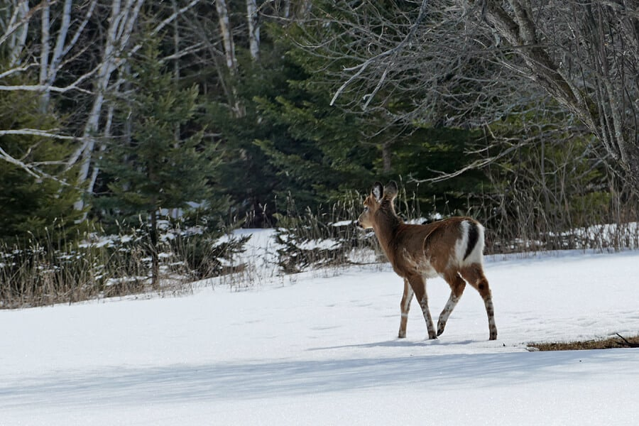 Deer on St Joseph Island, Ontario, Canada