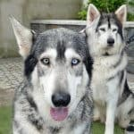 Game of Thrones direwolves | Odin and thor played Summer and Greywind as pups