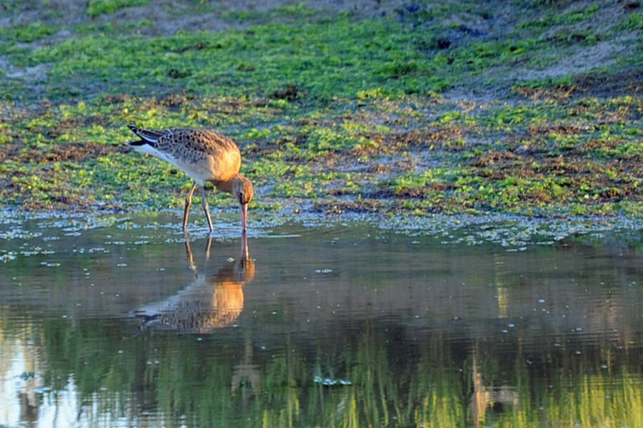 blackr-tailed godwit, Pagham harbour