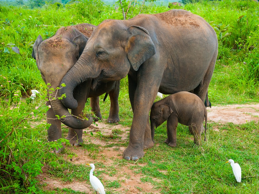 A family of elephants with a youngster tucked under one of the two adults