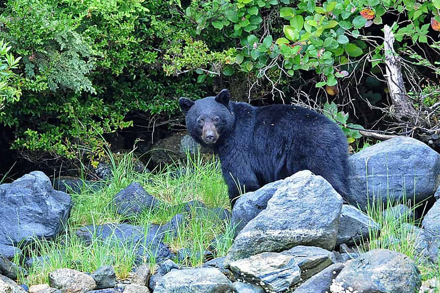 Black bear watching | Things to do in Canada in spring