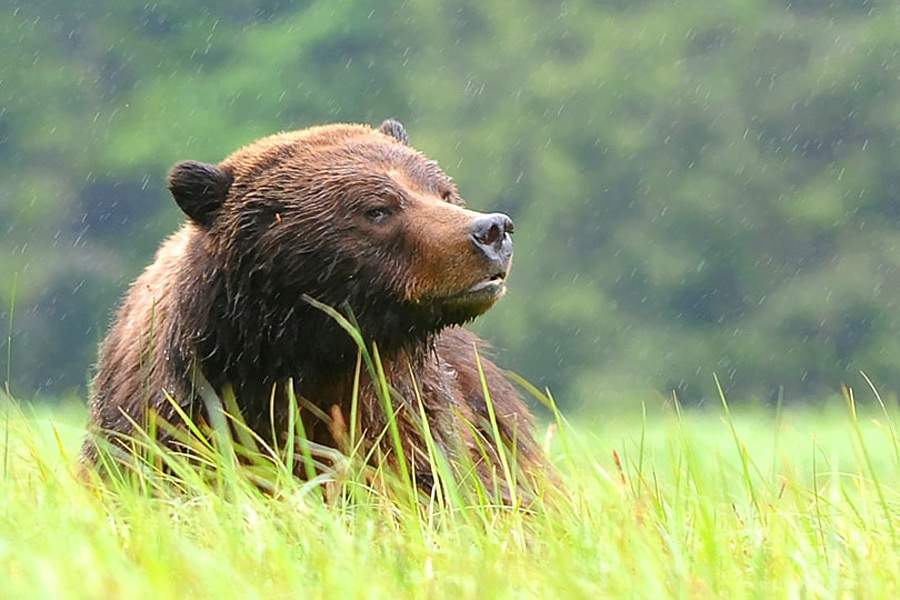 Large male grizzly bear walking through the sedge in the Great Bear Rainforest, British Columbia