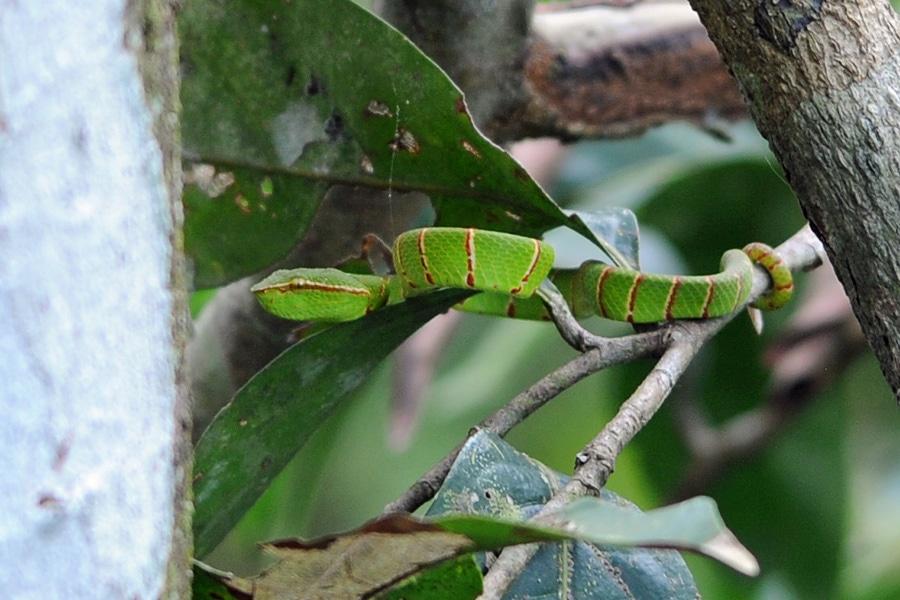 Borneo Keeled Pit Vper
