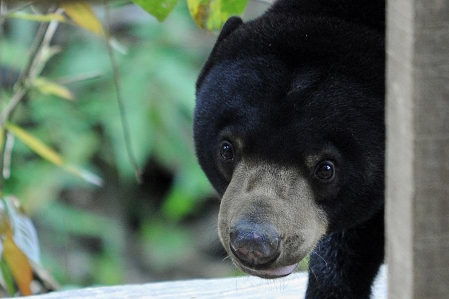 BorBornean Sun Bear Conservation Centre